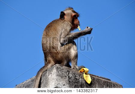 Bang Saen Thailand - January 10 2014: Long-tailed monkey sitting atop a stone wall eating a banana on Sam Mok Hill