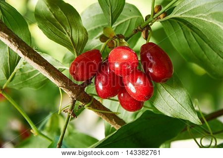 Red Berries Of Cornel Or Dogwood