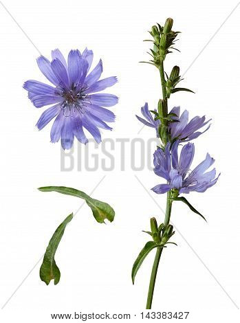 Set of chicory flowers and buds isolated on white