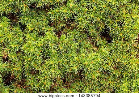 Picea Glauca, a slow growing dwarf conifer.  Variety is Alberta Globe