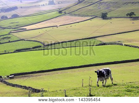 A cow in green fields in the Yorkshire Dales