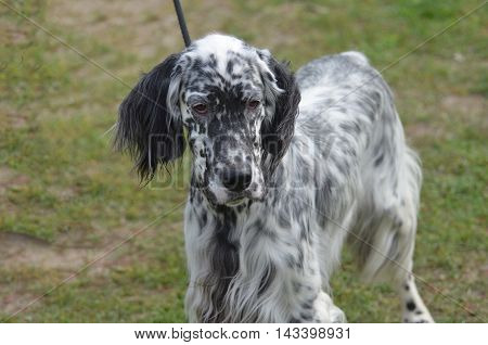 Goodlooking Engish setter dog on a black leash.