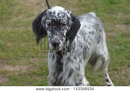 Wonderfully groomed English setter dog with a silky black and white coat.