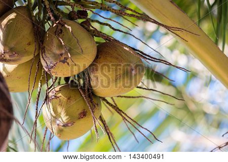 Closed up the coconut tree in a garden.