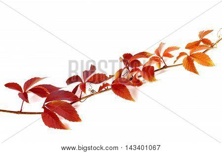Twig of autumn grapes leaves. Parthenocissus quinquefolia foliage. Isolated on white background.