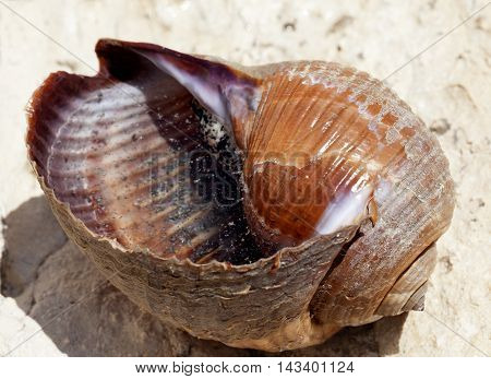 Very large live sea snail (Tonna galea or giant tun) on rock in sun summer day. Close up view.
