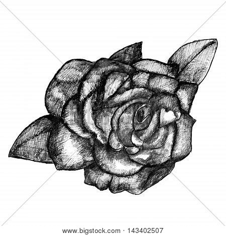 Hand drawn rose in pencil vector illustration