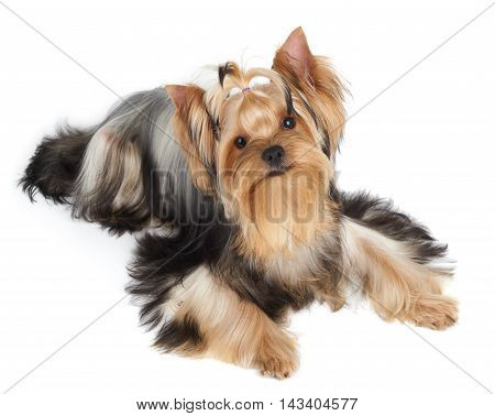 One Yorkshire Terrier looks up. Isolated on white