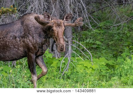 Male Moose Walks into Green Clearing in Montana forest