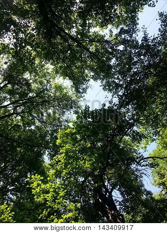 Sunlight Through Green Tree Crown. Tall Trees