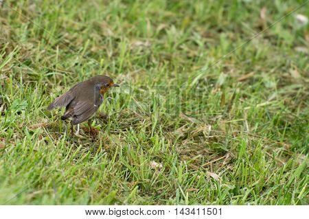 Robin bird Erithacus rubecula sitting on grass