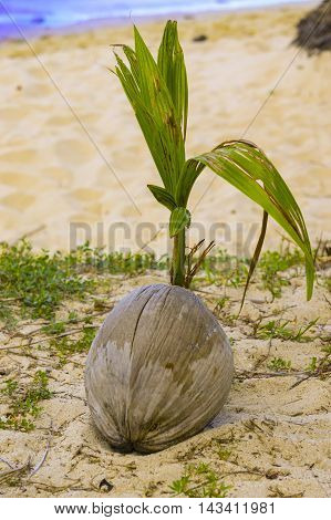 Coconut is sprouting up at the beach of uninhabited island against blue sea