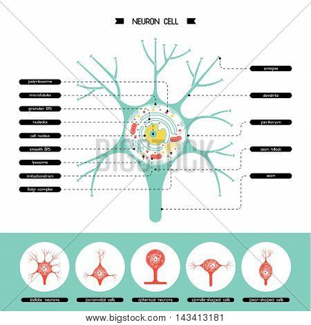 Isolated neurone cell biology diagram. Neurone cell anatomy structure vector illustration. Axon cell body. Cell structure detailed colorful anatomy with description.