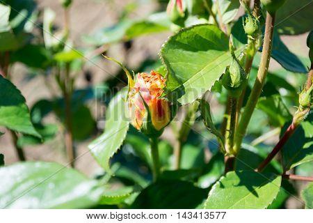Rose Bud In The Garden