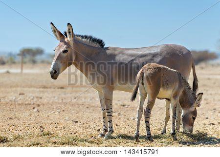Baby and adult Somali wild donkey (Equus africanus) inhabits nature reserve near Eilat city, Israel