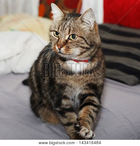 a beautiful European cat with a red collar standing on a bed with a blanket