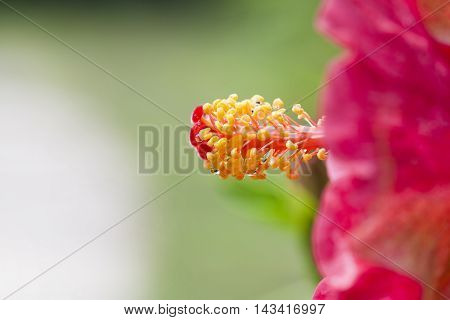Hibiscus rosa-sinensis.Hibiscus rosa-sinensis. MALVACEAE. red hibiscus flower isolated.