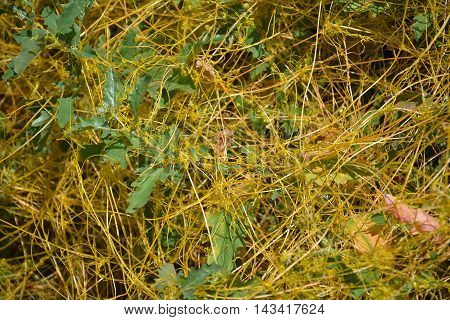Dodder (Genus Cuscuta) is a parasitic plant that is totally dependent on other host plants for survival