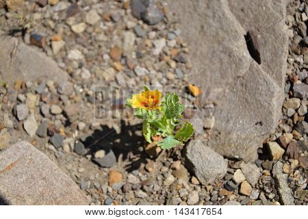 Single yellow flower of the wild poppy among the rocks as a concept of life force