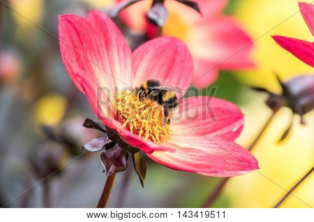 Bumble Bee collecting pollen from a flower