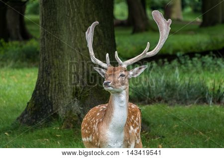 Male Fallow Deer looking around in a park.