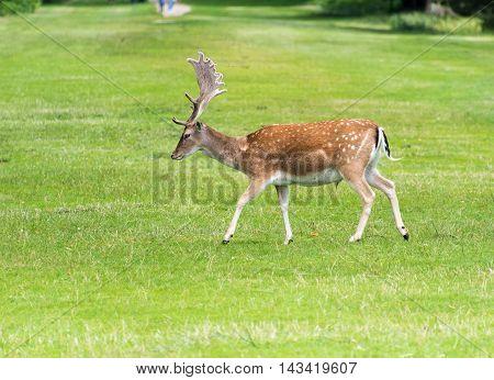Male Fallow Deer walking around on grass