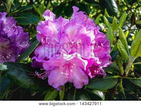 Rhododendron Bloom in June Close Up in bright light