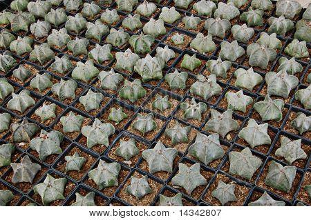 Cacti propagation in small pots