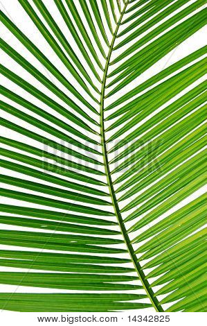 Isolated close-up of a palm frond