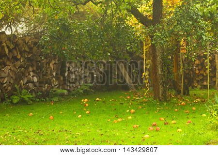 Autumn in garden- fallen red apples on the green grass ground under trees. Stack of firewood in the background
