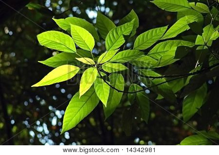 Backlit leaves in a Thai forest understorey