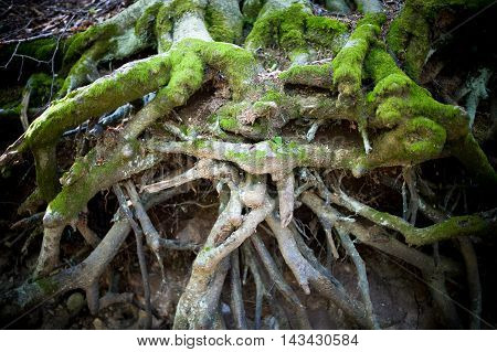 Tree Root Tangle Close Up In Undergrowth