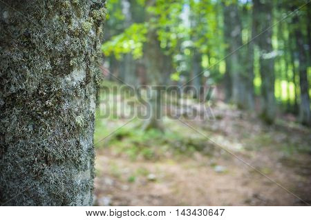 Fascinating Beech Tree Trunk In Green Woods
