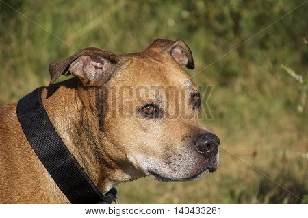 American Pit Bull Terrier portrait of red close-up plan