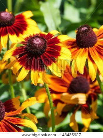 Yellow and red 'Black-eyed Susan' (Rudbeckia hirta) in garden with others