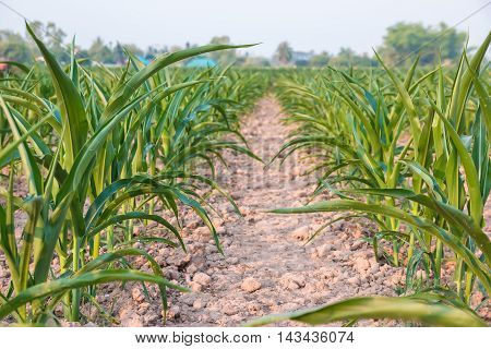 agricultural field where maize is grown .