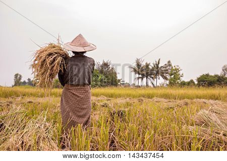 Farmer working at rice field in rural.