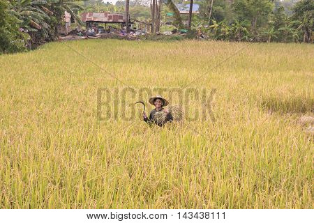 Farmers harvest rice in a field .