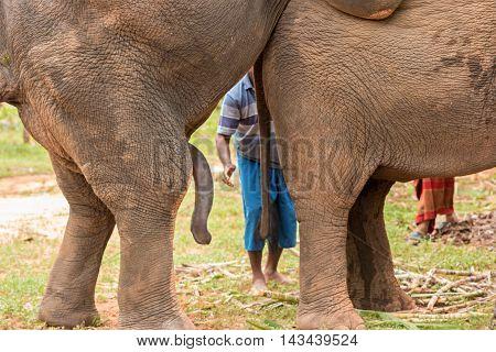 Elephant's penis  In the breeding season in the wild.