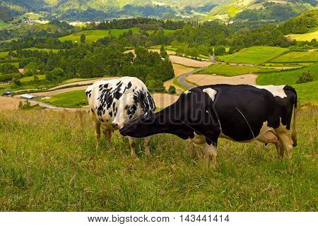 Close up of two tending to each other cows on a grassy field in Azores Portugal. Cows with scenic landscape of Sao Miguel Island on background.