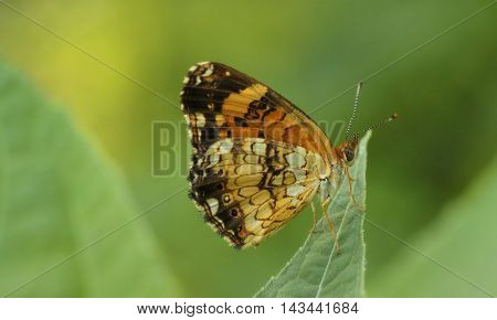 Close up photograph of a Nymphalid butterfly.