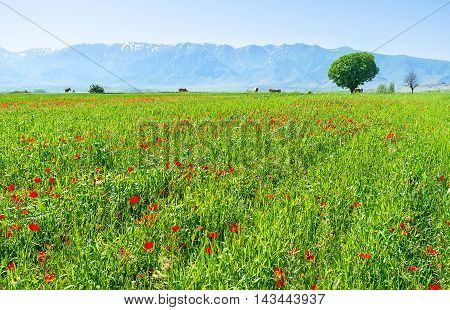 The bright red poppies scattered on the meadow among high and juicy grass Samarkand suburb Uzbekistan.
