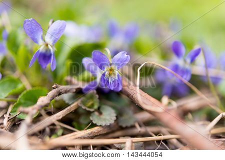 Wood Violet or Dog Violet in woodland in springtime