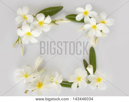 Beautiful white tropical frangipani flower on white background