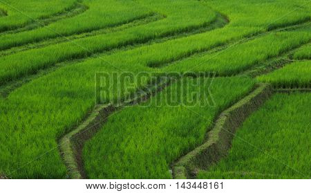 The rice paddyfield, Mae Klang Luang, Thailand.