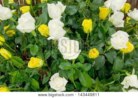 Background of bouquet of white blooming rose bush