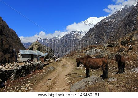 Langtang village valley horses and scenery of himalaya mountain range one of the popular trekking route in Nepal