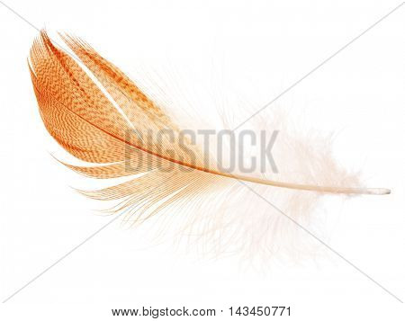 striped orange feather isolated on white background