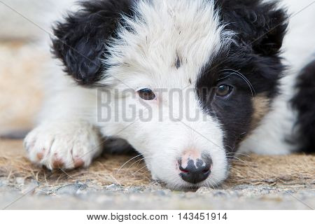 Small Border Collie Puppy On A Farm,resting