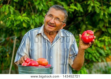 An elderly man with a bucket full of big red tomatoes is standing in the background of green  trees. He is holding a big rape red tomato in his left hand. It looks like he is giving it to you.
